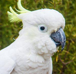 Myuna Farm's Joey the cockatoo