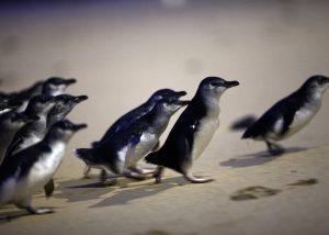 Image shows fairy penguins walking up beach at sunset