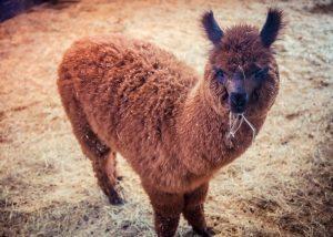 Image shows brown lama eating hay