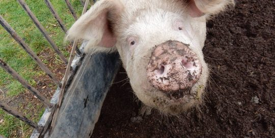 Myuna Farm pig with dirty nose